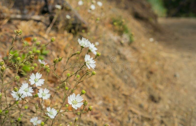 Hayfield congestawildflowers van Tarweed Hemizonia stock fotografie