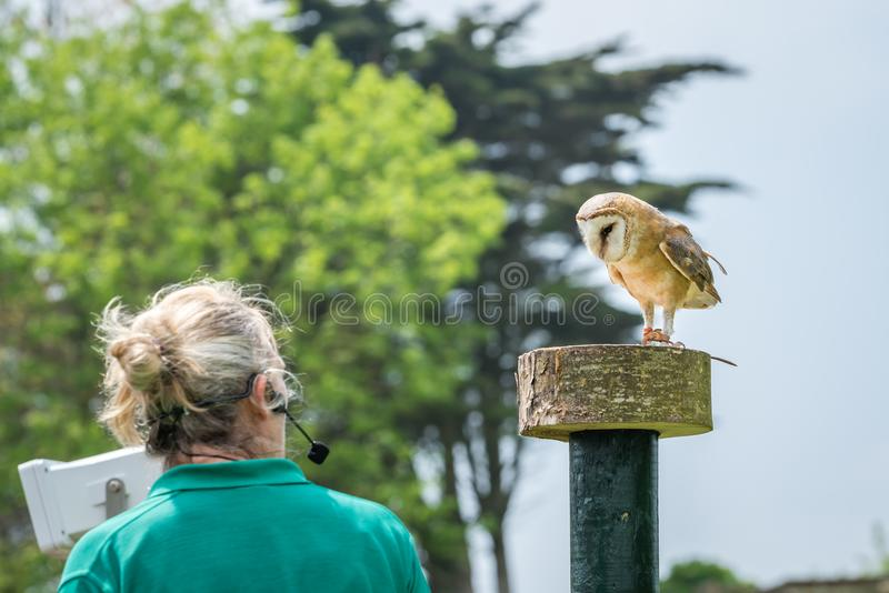 Little owl performing during birds of prey show stock images