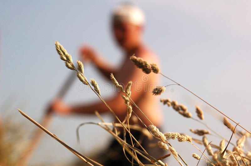 Haymaking, cosecha del heno imagen de archivo