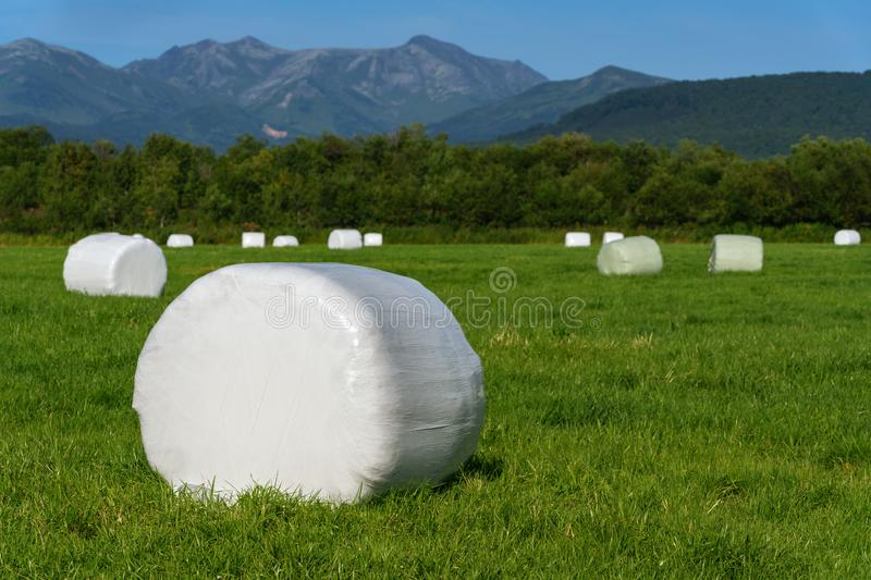 Haystack packed in white cellulose packaging and ready for transportation from mown agricultural field with green grass on sunny d. Ay. Rural landscape, dry royalty free stock image
