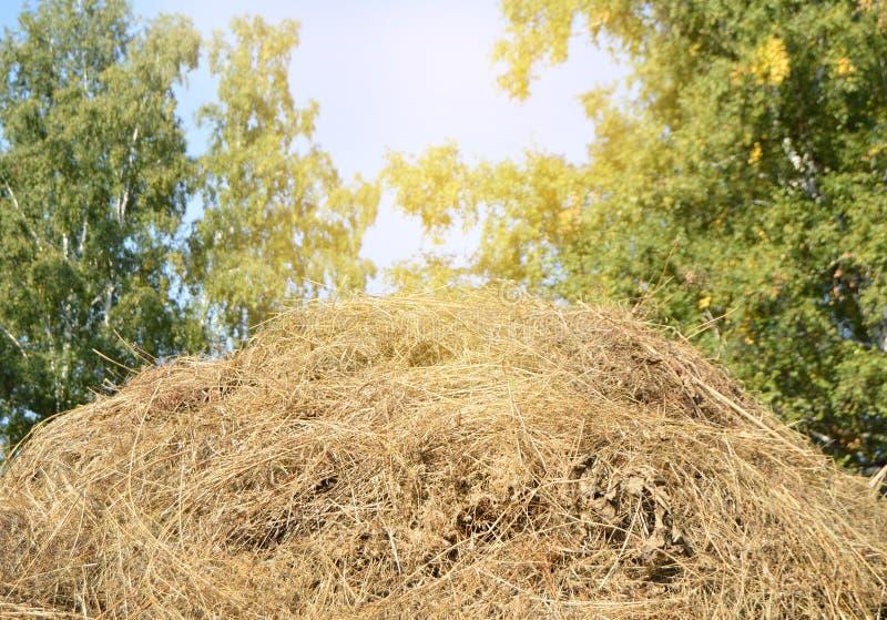 Haystacks w polanie w drewnach w jaskrawym świetle słonecznym przeciw niebieskiemu niebu i drzewom Piękna lato scena wiejski życi fotografia stock