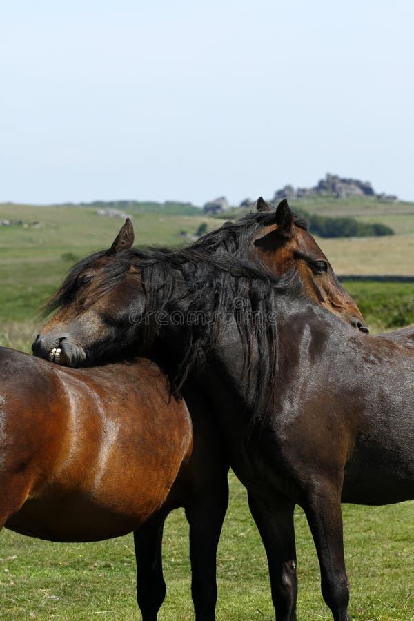 Haytor Beneden & een kudde van Dartmoor-Poneys stock fotografie