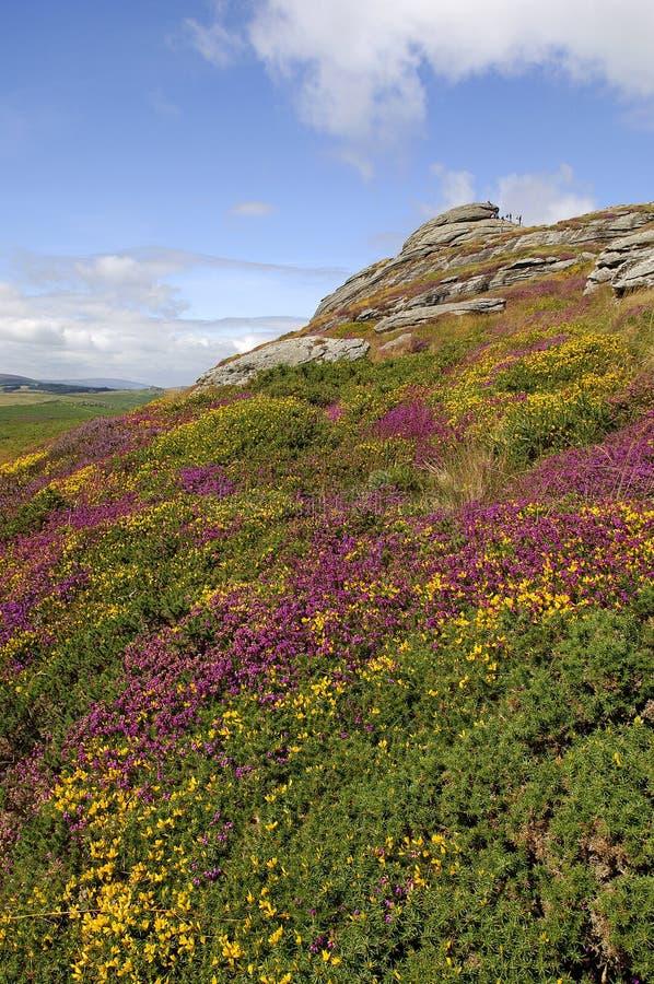 Haytor und Heidekraut, Dartmoor stockbild