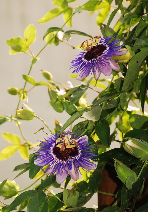 Haze Passifloras porpora immagine stock libera da diritti