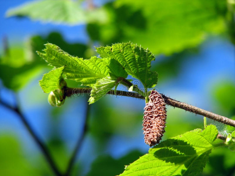 Hazel. The hazels (Corylus) are a genus of deciduous trees and large shrubs native to the temperate northern hemisphere royalty free stock image