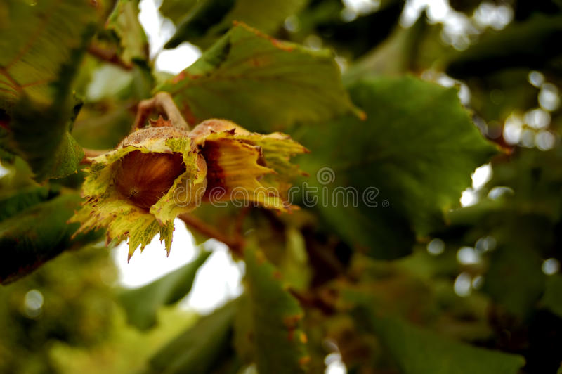 Hazel branches with nuts stock photos