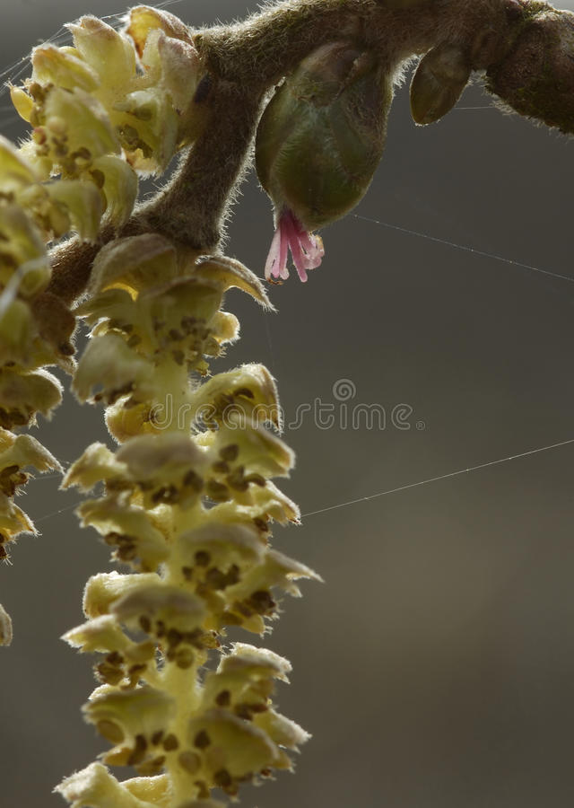 Hazel catkins. Corylus avellana Closeup showing male flower stock photography