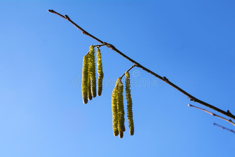Hazel catkins against the blue sky, highly allergenic pollen in stock image