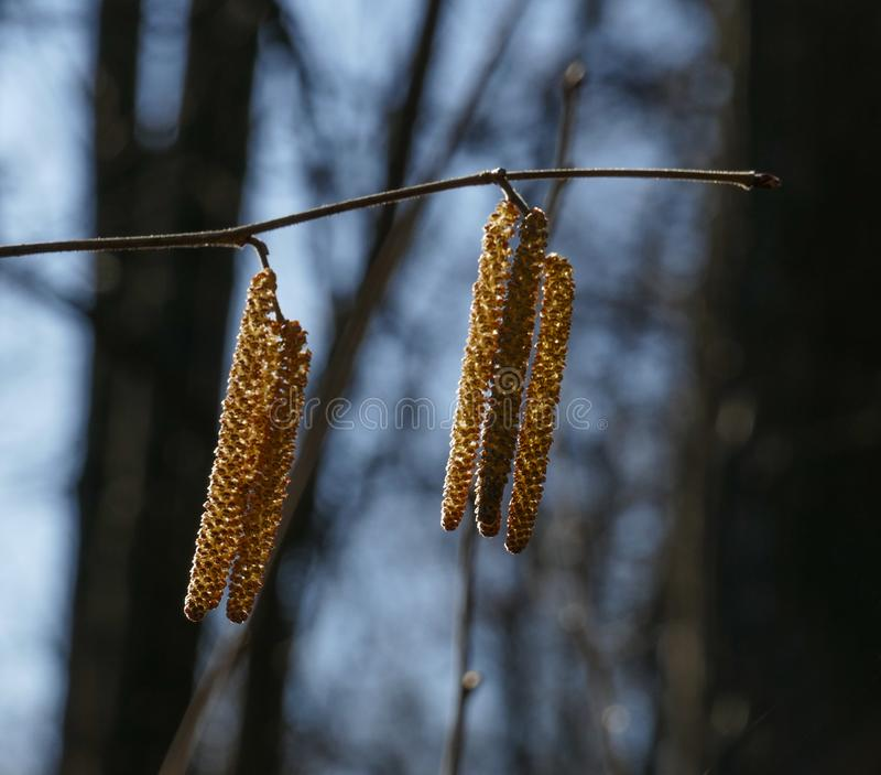 Hazel catkins. Branch with hazel catkins in a spring park on a sunny day royalty free stock images