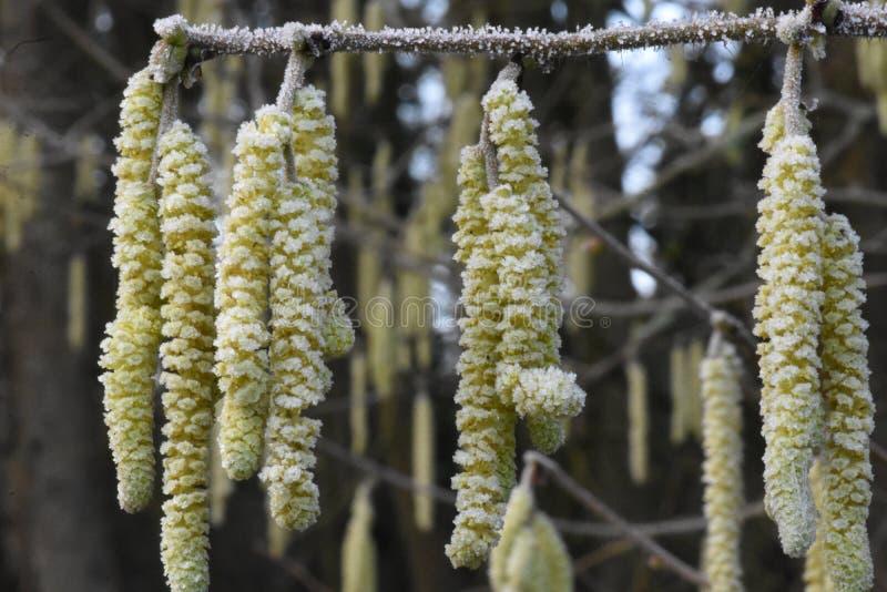 Hazel Catkins Clothed congelado no inverno Frost imagens de stock