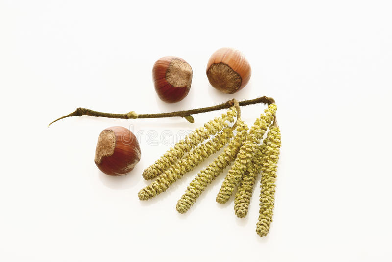 Hazel catkins (Corylus avellana) and hazelnuts stock photo