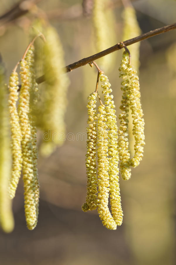 Hazel catkins, highly allergenic pollen. Hazel catkins - Corylus avellana in early spring in sunlight and closeup, highly allergenic pollen royalty free stock image