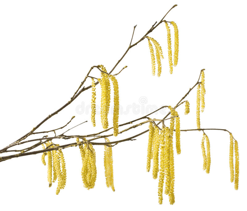 Hazel catkins royalty free stock photos