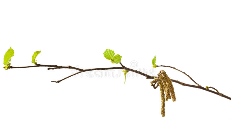 Hazel catkins stock photo