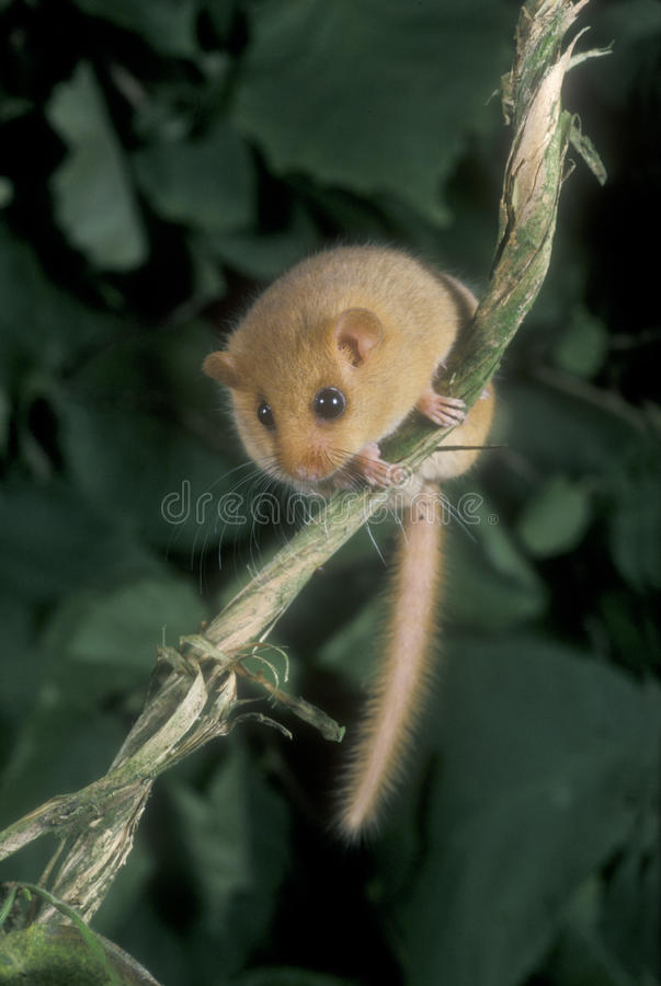 Hazel or common dormouse, Muscardinus avellanarius stock photo