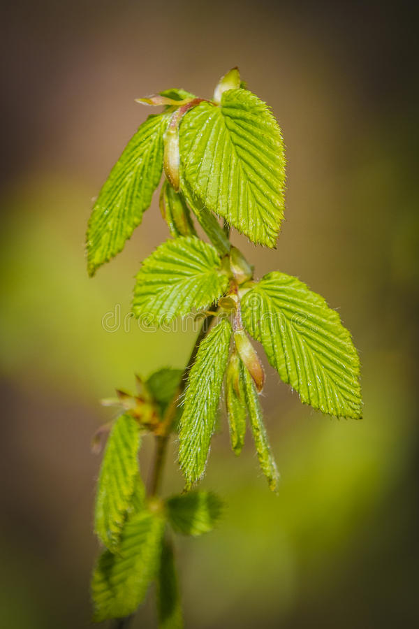 Hazel. The hazel Corylus is a genus of deciduous trees and large shrubs native to the temperate Northern Hemisphere. The genus is usually placed in the birch stock photo