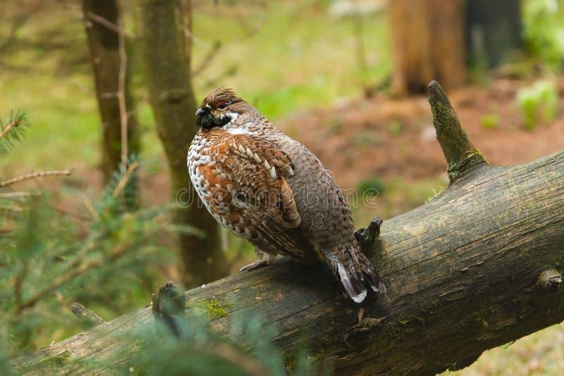 Hazel grouse. (Bonasa bonasia) sitting on log in forest stock image