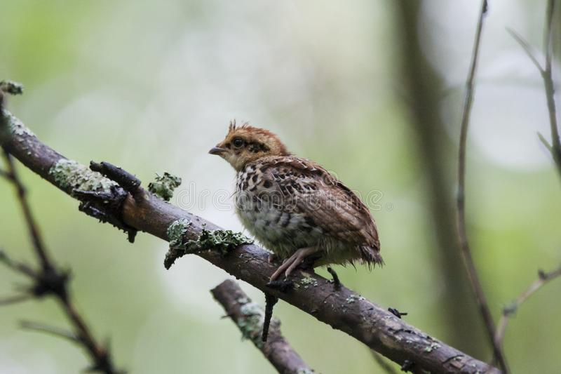 Hazel grouse baby sitting on branch. Hazel grouse tetrastes bonasia baby sitting on branch of tree in forest. Cute little chick. Bird in wildlife stock image