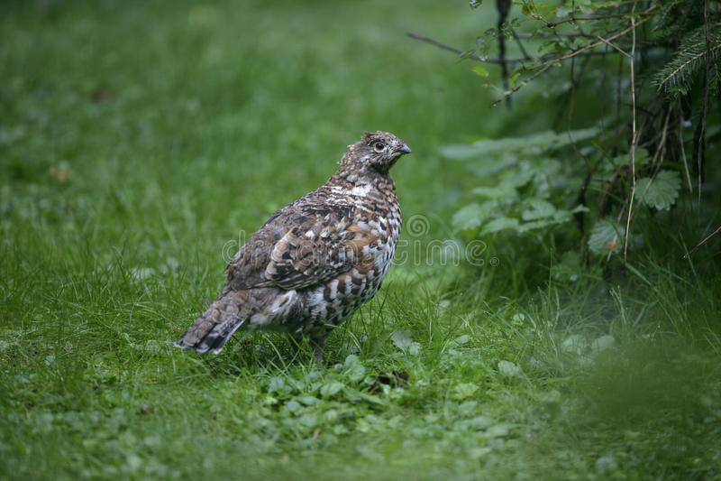 Hazel grouse, Bonasa bonasia. Single female on grass, Germany stock images
