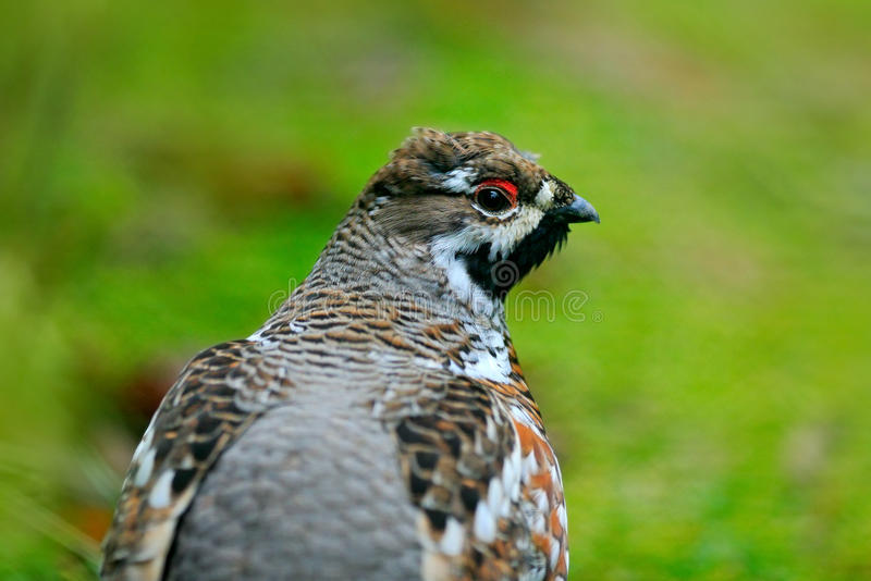 Hazel Grouse, bonasia del Bonasa, ritratto dell'uccello raro della foresta, Svezia fotografia stock libera da diritti