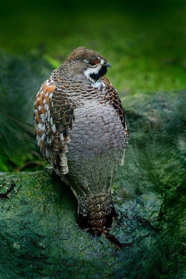 Hazel Grouse, bonasia del Bonasa, uccello della foresta che si siede sulla pietra verde del muschio fotografia stock