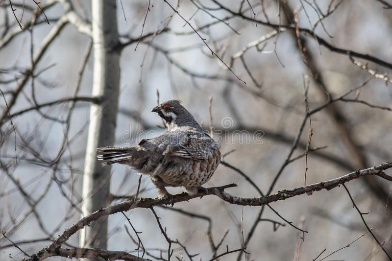 Hazel Grouse. Male Hazel Grouse sitting on a tree among branches stock photos