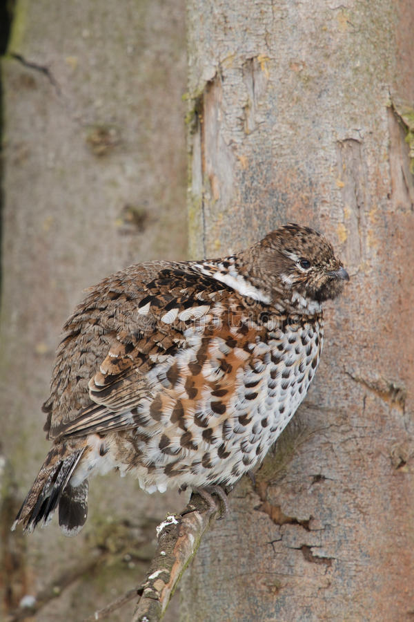 Hazel grouse. Sitting on a branch stock image