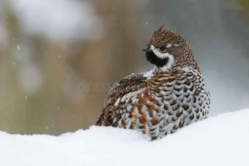 Hazel grouse. Sitting in snow royalty free stock images