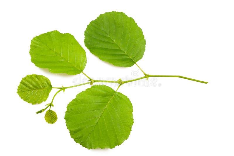 Hazel leaves. Hazel branch isolated on white royalty free stock photos