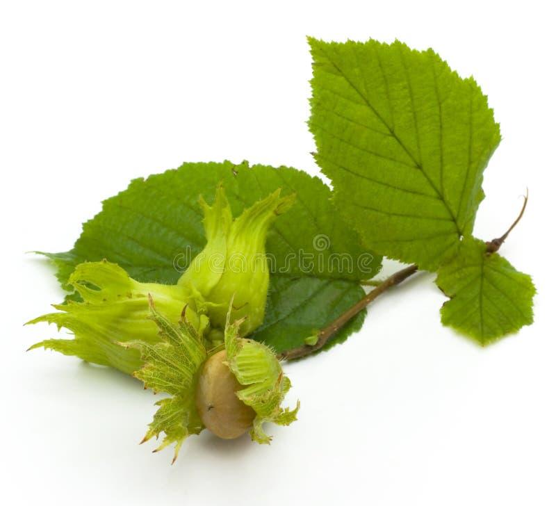 Hazel, nut royalty free stock images