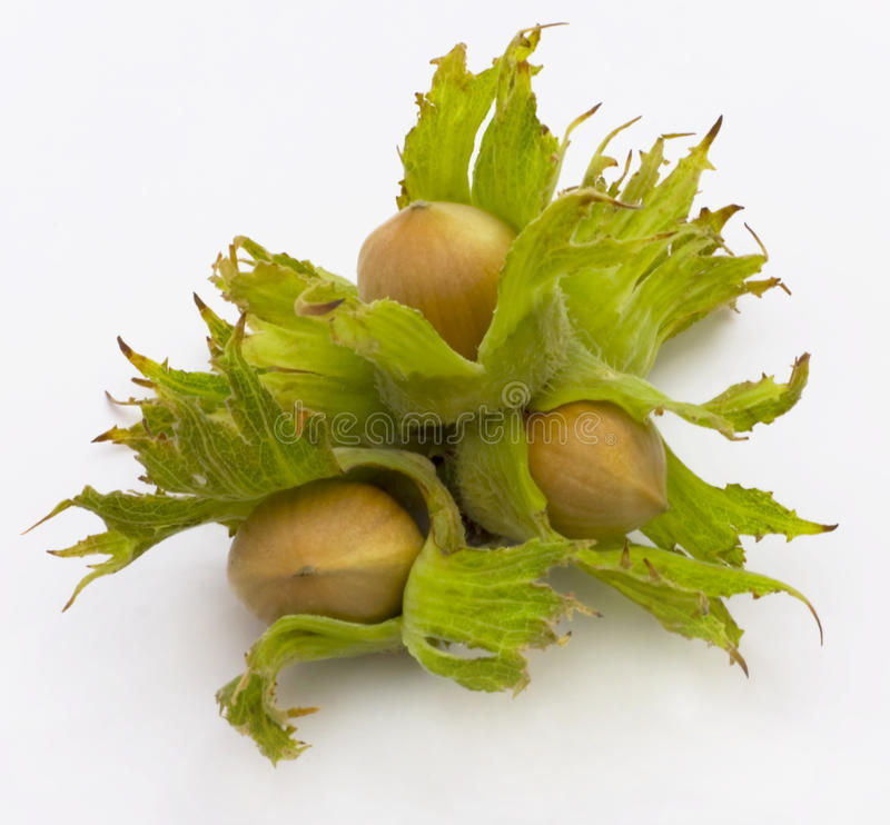 Free Hazel, Nut Stock Photography - 12945002