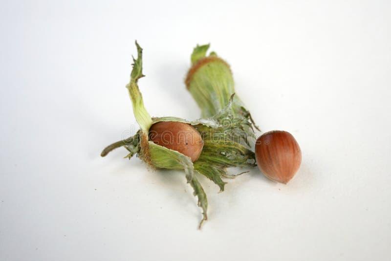 Hazel nut royalty free stock image