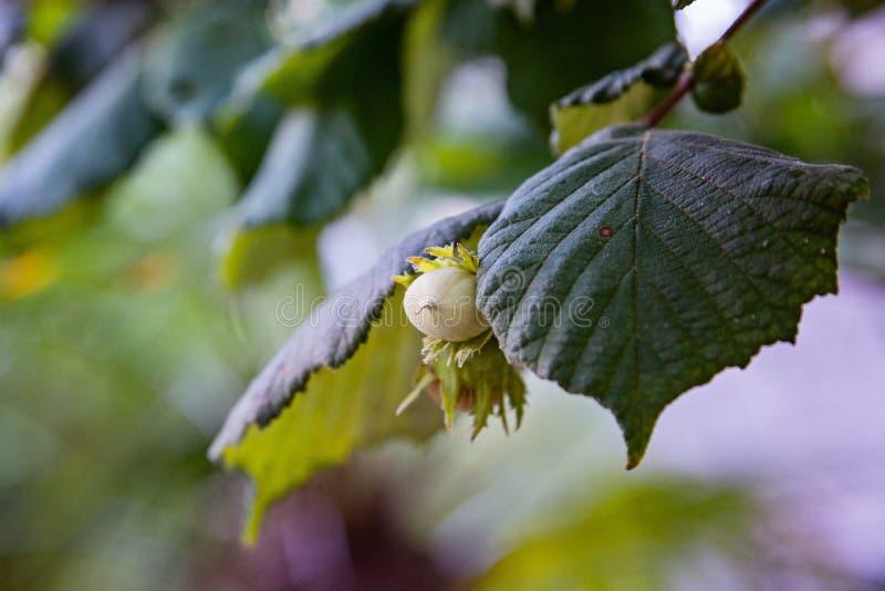 Hazel nuts on tree at the summer. Italian garden stock photo