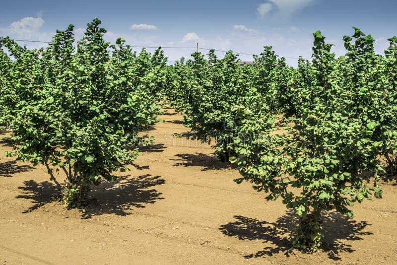 Hazel tree plantation. Summer time royalty free stock images