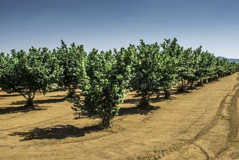 Hazel tree plantation. Summer time stock image