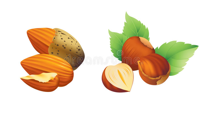 Hazelnut and almond illustration. stock photo