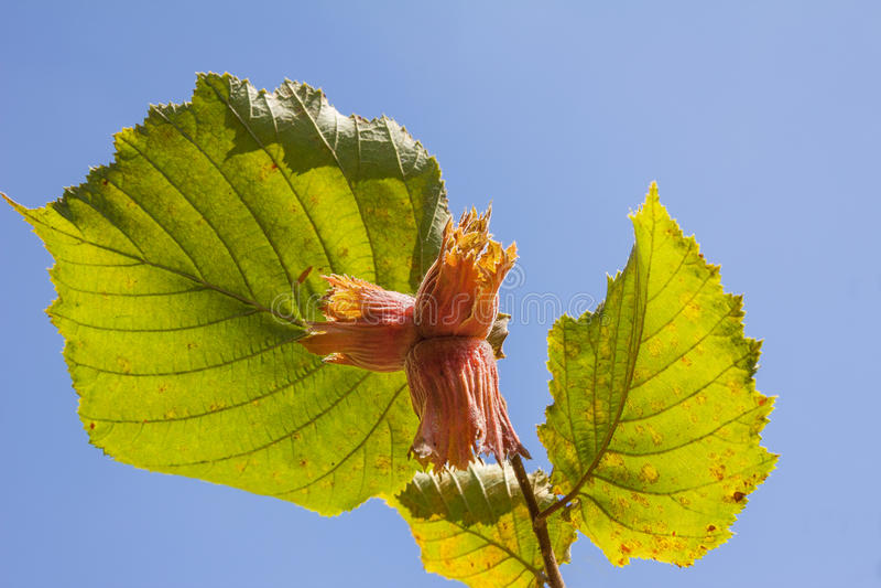 Hazelnut branch against blue sky stock photos