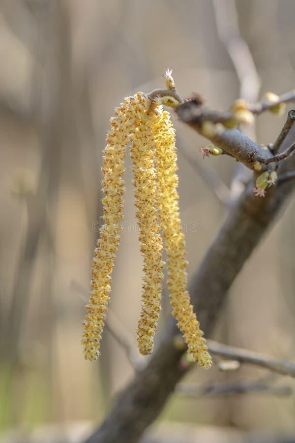 Hazelnut drzewa kwiaty obraz royalty free