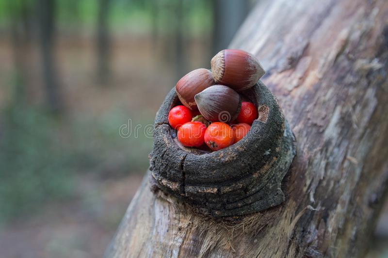 Hazelnut and rowan berries in the forest royalty free stock image