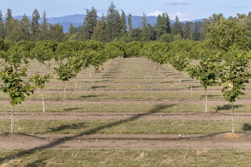 Hazelnut Rows, Willamette Valley, Oregon. Oregon is currently being planted with acres of hazelnut orchards. This farm is outside of Lebanon in the Willamette royalty free stock image