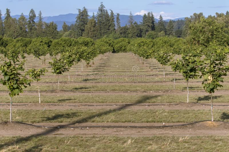 Hazelnut Rows, Willamette Valley, Oregon. Oregon is currently being planted with acres of hazelnut orchards. This farm is outside of Lebanon in the Willamette stock photos