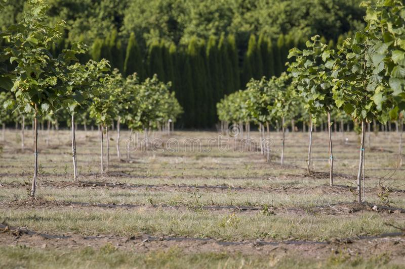 Hazelnut Rows, Willamette Valley, Oregon. Oregon is currently being planted with acres of hazelnut orchards. This farm is outside of Lebanon in the Willamette stock photography