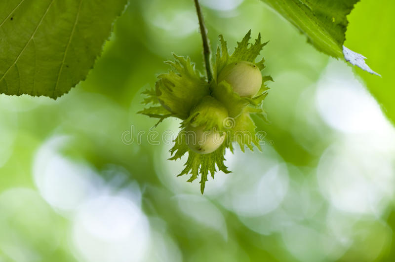 Hazelnut Tree Stock Image