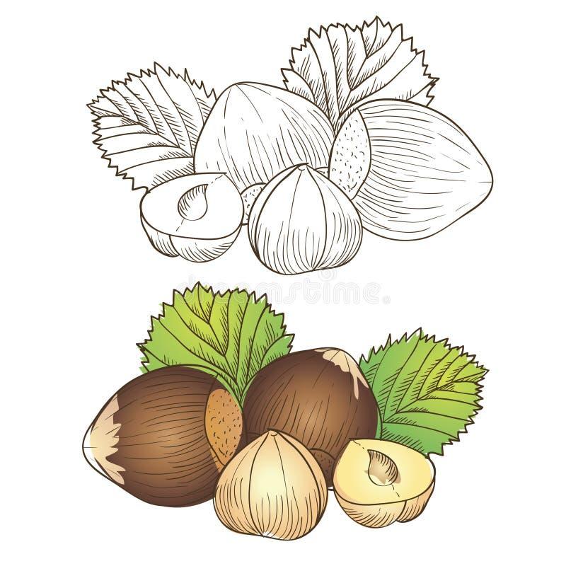 Download Hazelnut stock vector. Image of section, full, vegetables - 31200342
