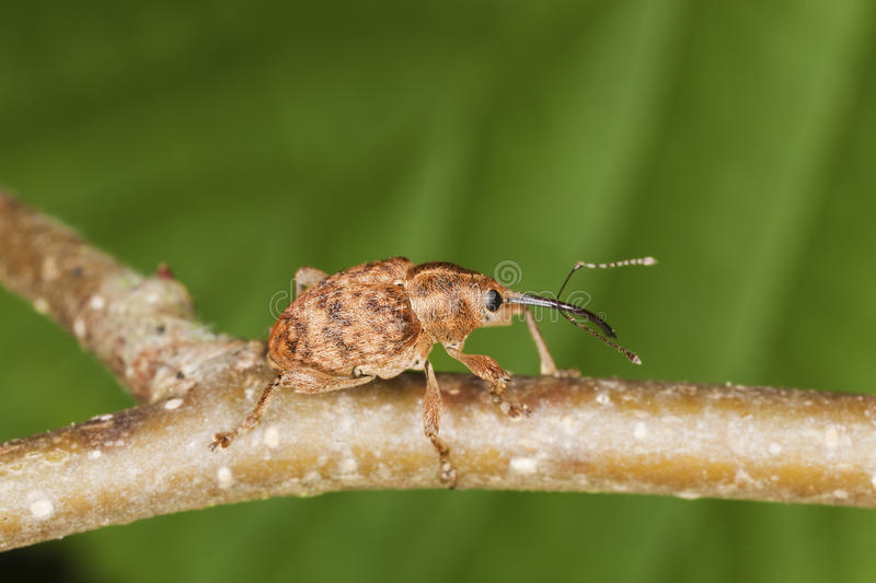 Hazelnut weevil (Curculia nucum) royalty free stock images