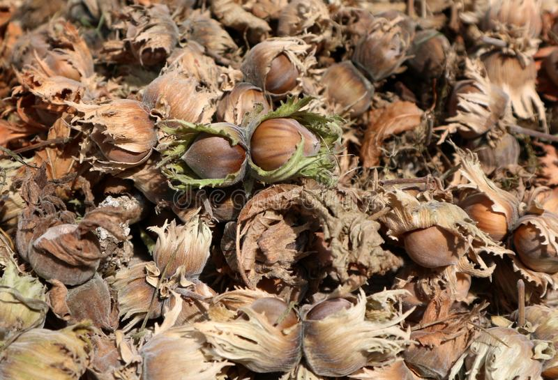 Hazelnuts just picked up with husks and dried cobs in the early autumn. stock photos