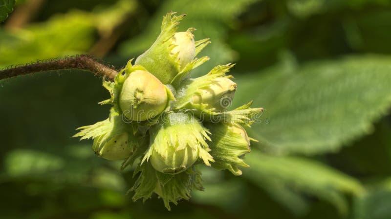 Hazelnuts na orzechowym drzewie zdjęcie stock