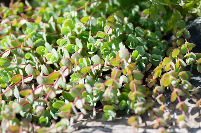 Hazy green leaves with red borders of a Kalanchoe succulent on the rock.  stock photos