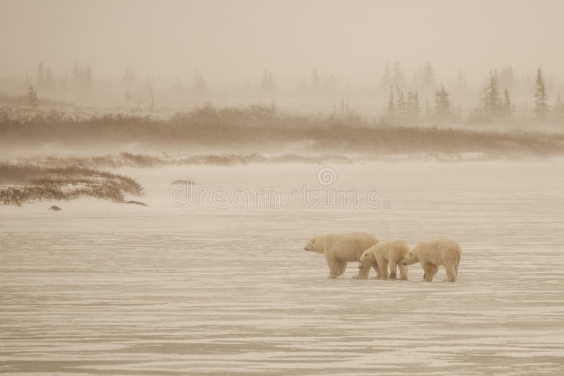 Hazy, Wintry Scene: Polar Bear and Cubs Crossing Frozen Lake. A light snow and some wind cause a haze to fill the air, blocking true color and making for this stock photo