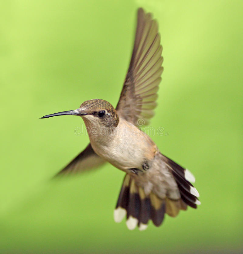 Download HB2 stock photo. Image of ruby, hummingbird, ruby, nature - 34087090
